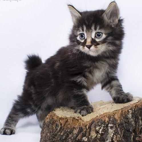 841 Akella longhair  Kurilian Bobtail male kitten