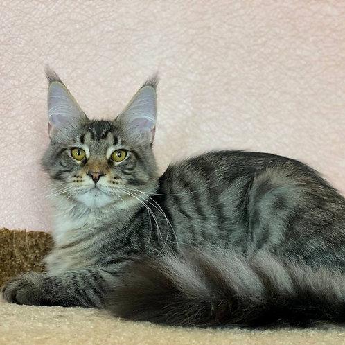353 Bonni    Maine Coon female kitten