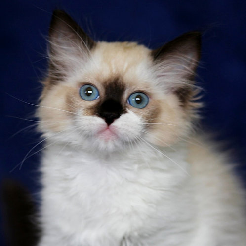 177 Darina  purebred Ragdoll female kitten