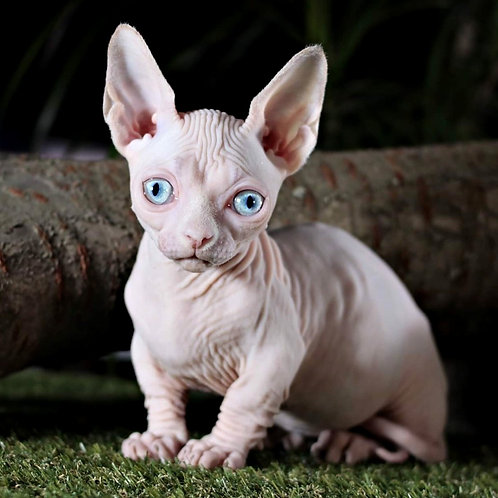 65 Dilly   male Bambino kitten