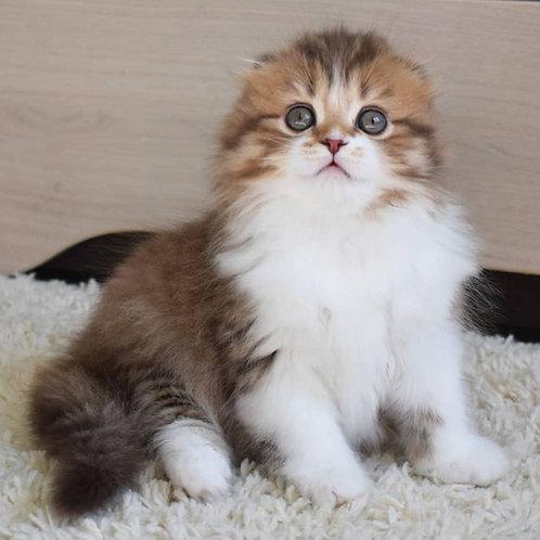 367 Vita      Scottish fold longhair female kitten