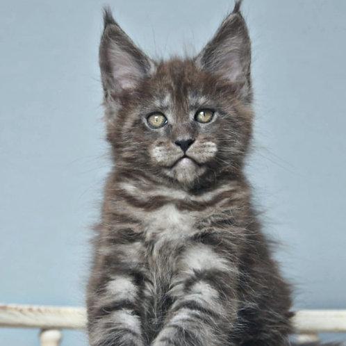 439 Vinnie Jones  Maine Coon male kitten