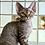 Thumbnail: 431 Hillari   female Devon Rex kitten