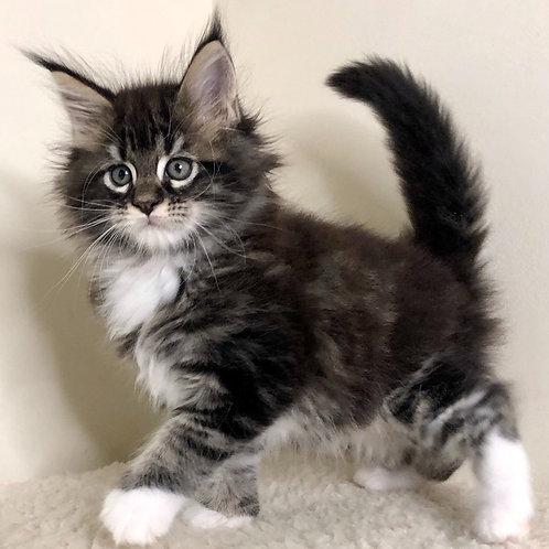 725 Calvin Maine Coon male kitten