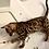 Thumbnail: 243 Peppy purebred Bengal female kitten
