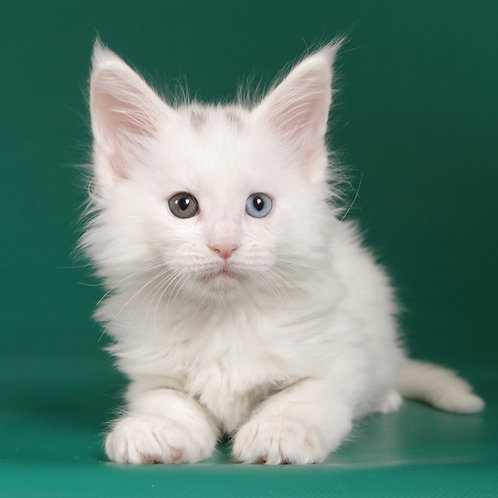 14 Upiter  Maine Coon male kitten