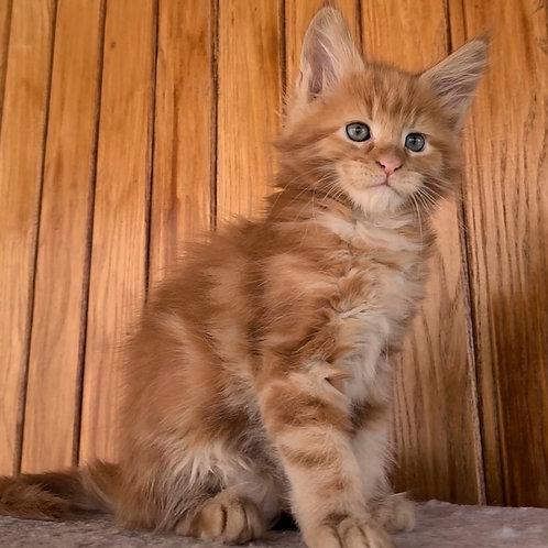 386 Garry  Maine Coon male kitten