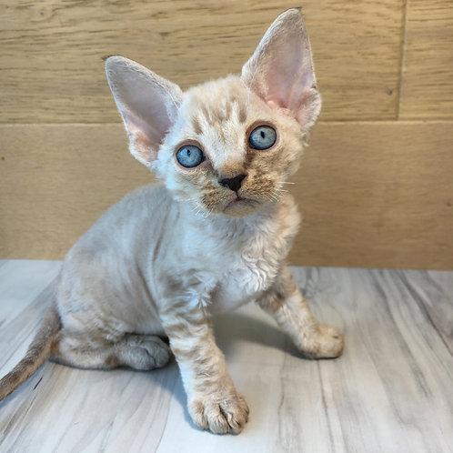 Vostorg male kitten Devon Rex