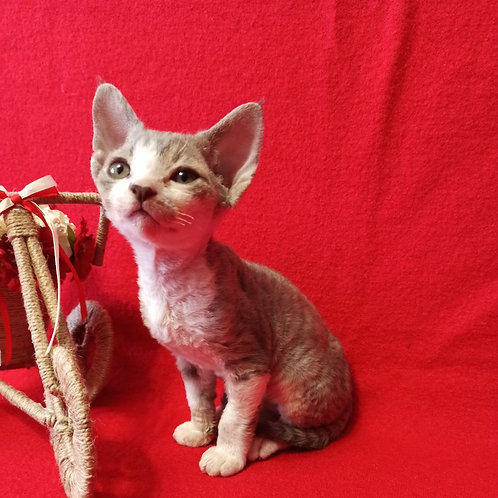 Idalgo male kitten Devon Rex