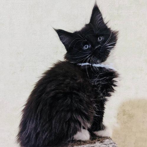 306 Katerina  Maine Coon female kitten