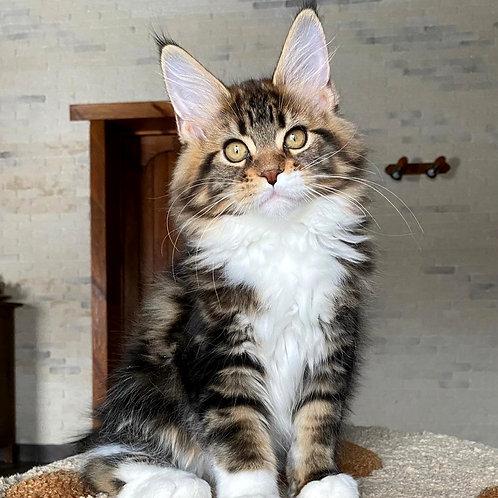 4 Cinnamon Girl Maine Coon female kitten
