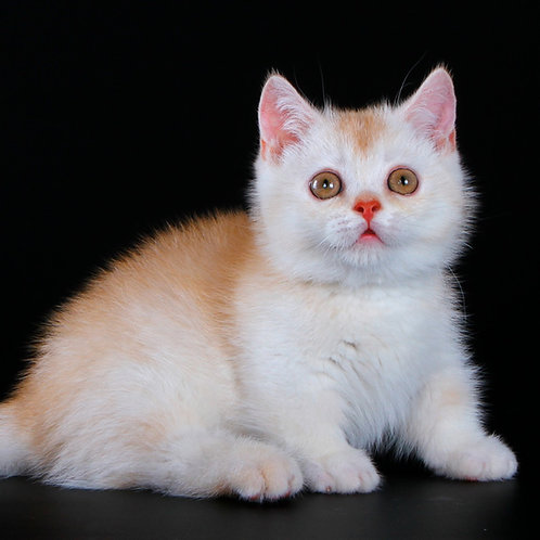 674 Norfolk    Munchkin shorthair male kitten