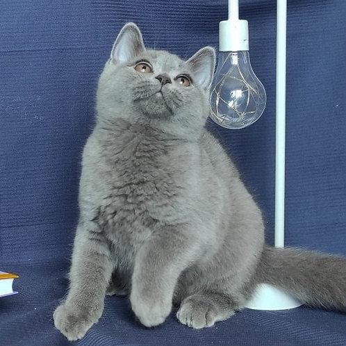 876 Fill  British shorthair male kitten
