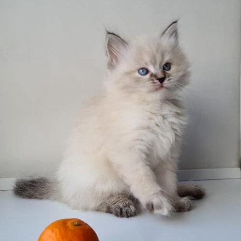 35 Grace  Siberian female kitten