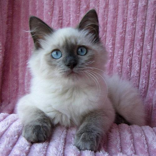 262 Olivia   Siberian female kitten