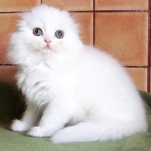 632 Yang   Scottish fold longhair male kitten