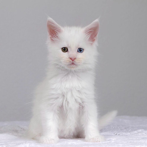 611 Nat Maine Coon female kitten