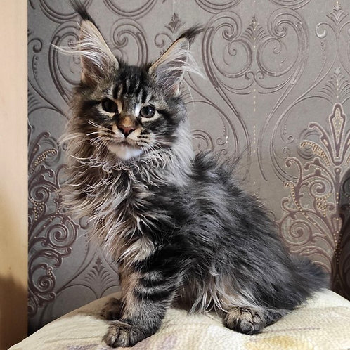 258 Absolom    Maine Coon male kitten
