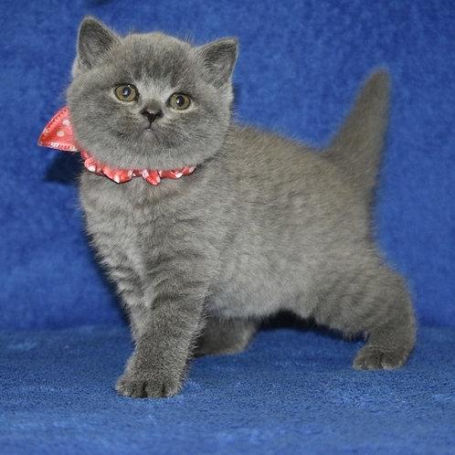 Ustina British shorthair female kitten