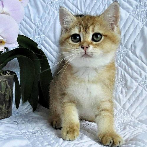 750 Gerda  British shorthair female kitten