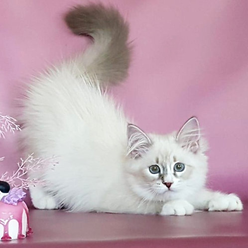 191 Kukla    Siberian female kitten