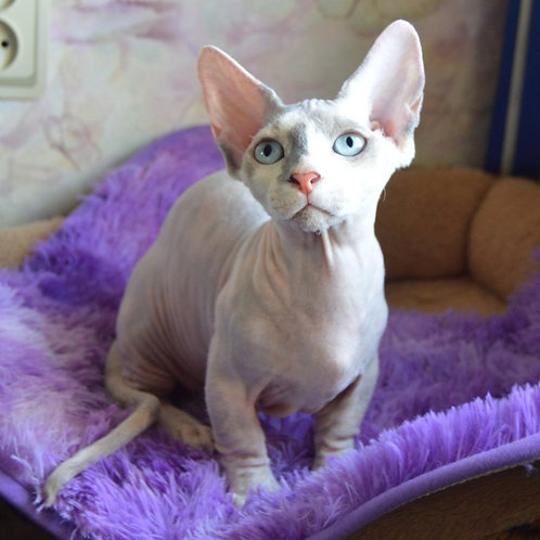 495 Astrea female Bambino  kitten
