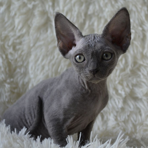 286 Wolf    male kitten Devon Rex