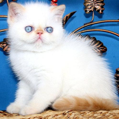 62 Leon   Exotic male kitten