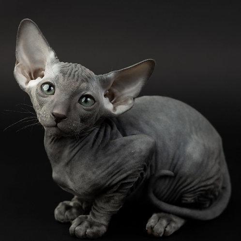 337 Daisy   female Peterbald kitten