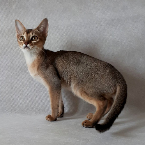 161 Bella   purebred Abyssinian female kitten