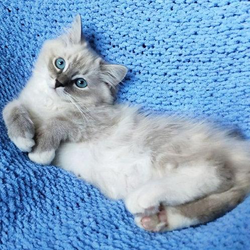 442 Oksik  Ragdoll male kitten