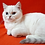 Thumbnail: 45 Fokus    Scottish straight shorthair male kitten