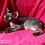 Thumbnail: 713 Darji  male kitten Devon Rex