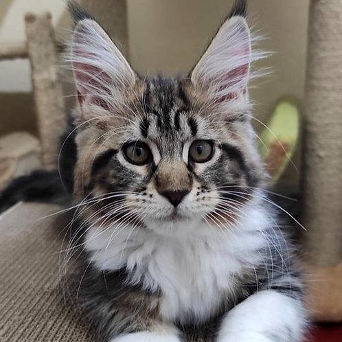 789 Universe   Maine Coon female kitten