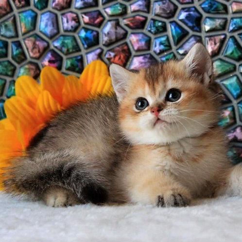 317 Taylir      British shorthair male kitten