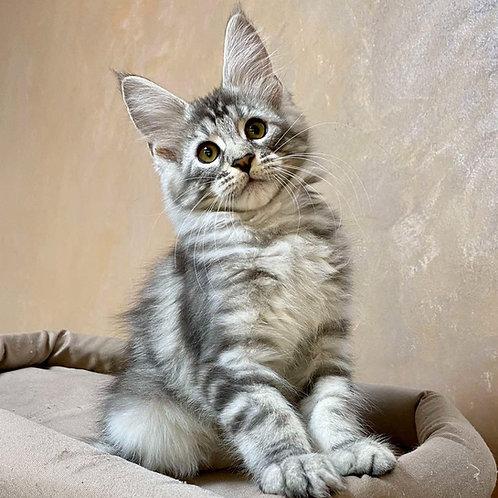 568 Layrelle Maine Coon female kitten