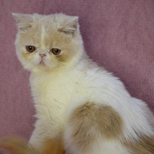 271 Karamelka  Exotic  female kitten