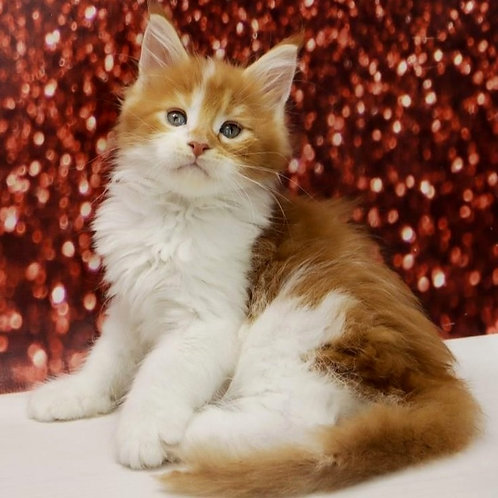 554 Las Vegas  Maine Coon male kitten