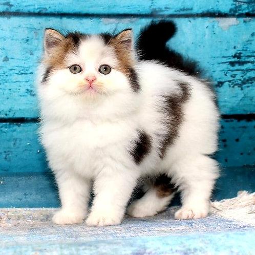 1086 Gosha  Scottish straight longhair male kitten
