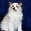 Thumbnail: 174 Demimoor  purebred Ragdoll male kitten