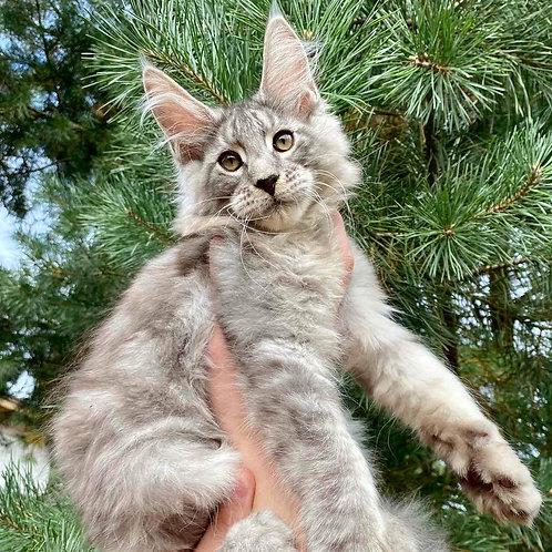 761 Zephan Maine Coon male kitten