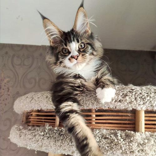 780 Jupiter Maine Coon male kitten