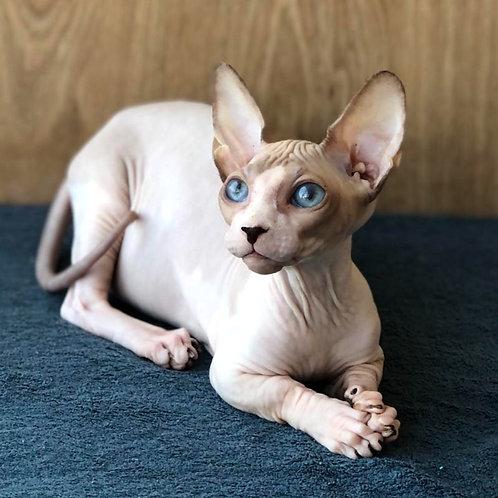493 Marseilles male Bambino  kitten
