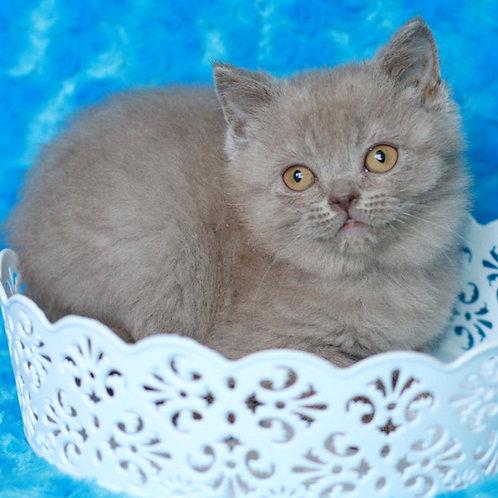 224 Zefir     Scottish straight shorthair male kitten