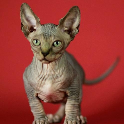 466 Effect  male Sphynx  kitten