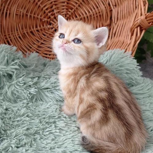 372 Kamila  British shorthair female kitten