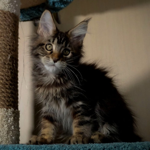 218 Elis  Maine Coon female kitten