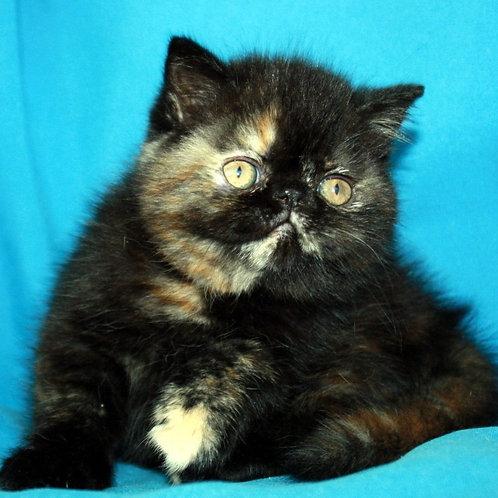 99 Naomi   Exotic  female kitten