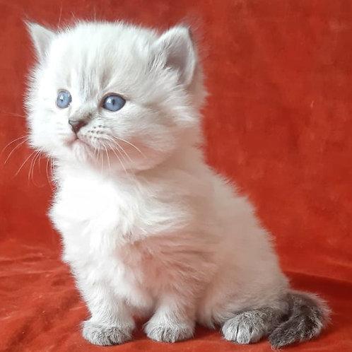 77 Julia    Siberian female kitten