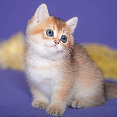 693 Keks  British shorthair male kitten